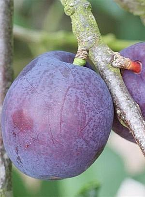 Slyva (Prunus domestica) 'Herman'