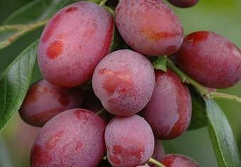 Slyva (Prunus domestica) 'Viktorija'