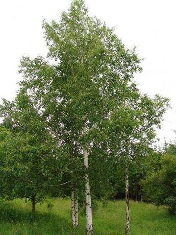 Beržas karpotasis (Betula pendula)
