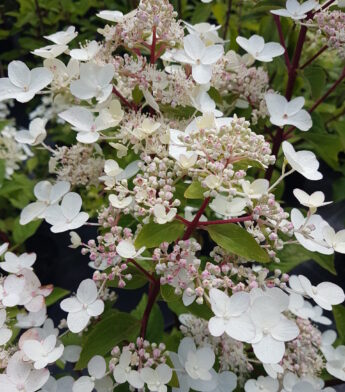 Hortenzija šluotelinė 'Dharuma' (Hydrangea paniculata)