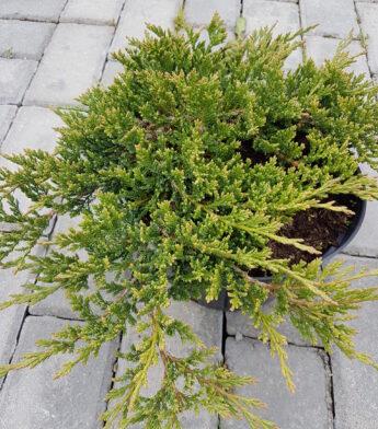 Kadagys padrikasis 'Prince of Wales' (Juniperus horizontalis)