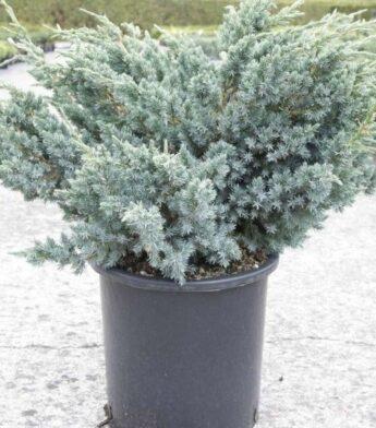 Kadagys-žvynuotasis-Meyeri-Juniperus-squamata