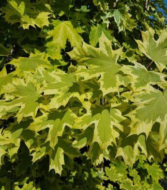 Klevas paprastasis 'Drummondii' (Acer platanoides)