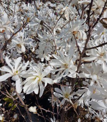 Magnolija žvaigždinė (Magnolija stellata)