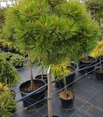 Pušis juodoji 'Brepo' (Pinus nigra)