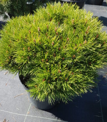 Pušis kalninė 'Marie Bregeon' (Pinus mugo)