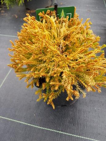 Tuja vakarinė 'Golden Tuffet' (Thuja occidentalis)