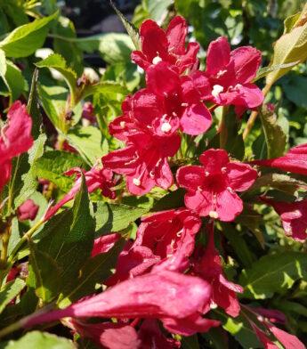 Veigelė gražiažiedė 'Red Prince' (Weigela florida)