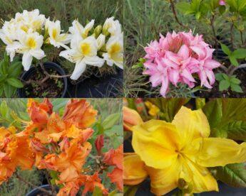 Azalijos-Rhododendron