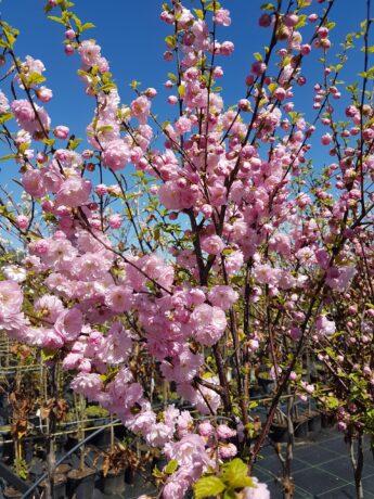 Migdolas-triskiautis-Prunus-triloba