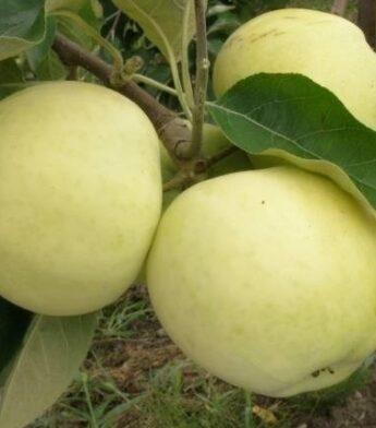 Obelis (Malus domestica) 'Alyvinė'