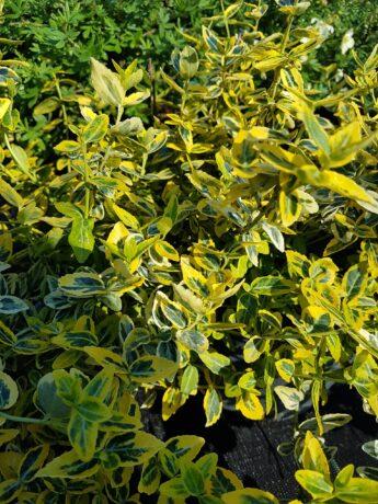 Ožekšnis-fortūno-Euonymus-fortunei-Emerald-gold