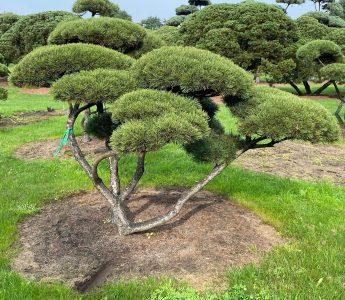 Pusis-kalnine-Pinus-mugo-formuota