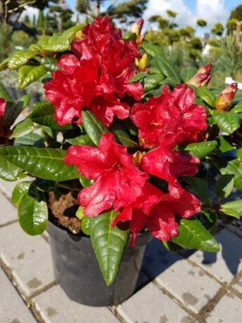 Rododendras 'Scarlet Wonder' (Rhododendron)