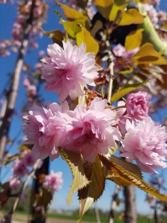 Sakura 'Kiku-shidare' (Prunus serrulata)