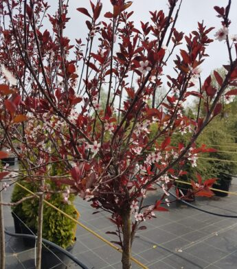 Slyva-Nigra-Prunus-cerasifera