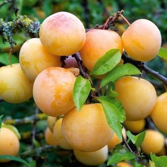 Slyva (Prunus domestica) 'Uleno renklodė'