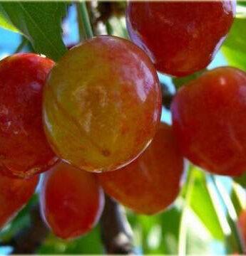 Trešnė (Prunus avium) 'Vega'