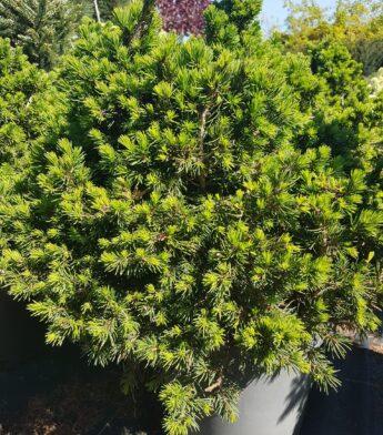 Eglė paprastoji 'Tompa' (Picea abies)