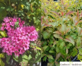 Lanksva japoninė 'Crispa' (Spiraea japonica)