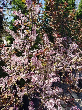 Ieva paprastoji 'Colorata' (Prunus padus)