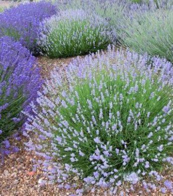 Levanda tikroji 'Hidcote Blue' (Lavandula angustifolia)