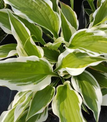 Melsvė 'Patriot' (Hosta)