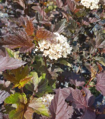 Pūslenis putinalapis 'Diabolo' (Physocarpus opulifolius)