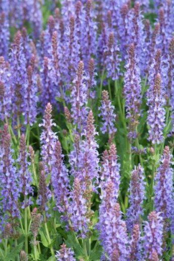 Salavijas-gojinis-Salvia-nemorosa-Blauhugel.jpg
