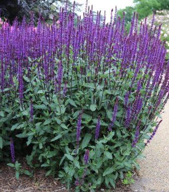 Salavijas-gojinis-Salvia-nemorosa-Caradonna
