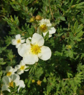 Sidabražolė krūminė (sidabrakrūmis) 'Limelight' (Potentilla fruticosa)