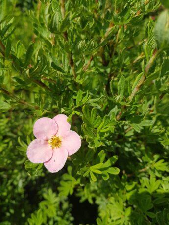 Sidabražolė krūminė (sidabrakrūmis) 'Pink Beauty' (Potentilla fruticosa)