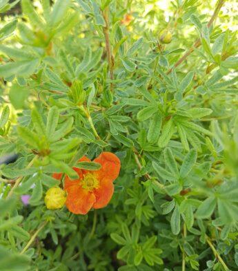 Sidabražolė krūminė (sidabrakrūmis) 'Red Ace' (Potentilla fruticosa)