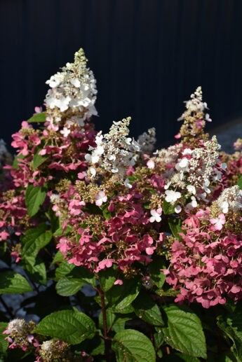Hortenzija-šluotelinė-Pinky-Winky-Hydrangea-paniculata