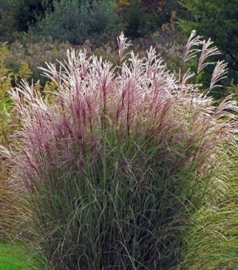 Miskantas-Morning-light-Miscanthus-sinensis