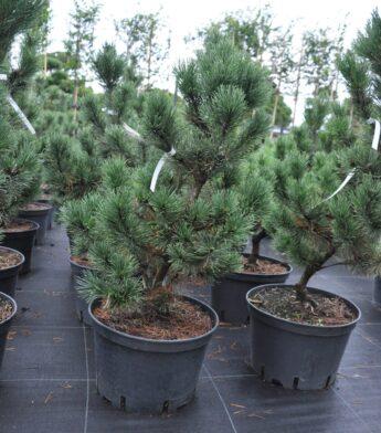 Kalninė-pušis-Pal-Maleter-Pinus-mugo