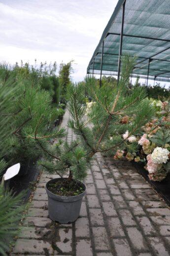 Pušis-juodoji-Pinus-nigra-var-austriaca