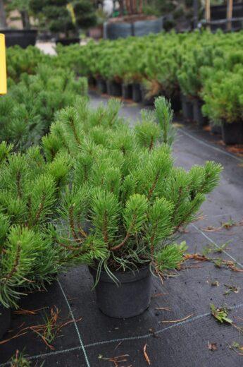 Pušis-kalninė-Pumilio-Pinus-mugo