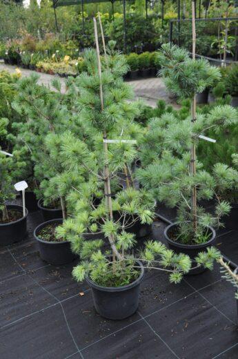 Pušis-melsvoji-Negishi-Pinus-parviflora