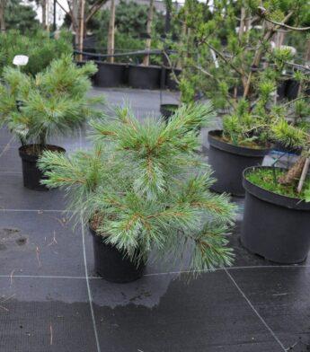 Pušis-veimutinė-Blue-shog-Pinus-strobus