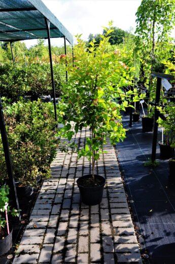 Pūslenis putinalapis 'Luteus' (Physocarpus opulifolius)