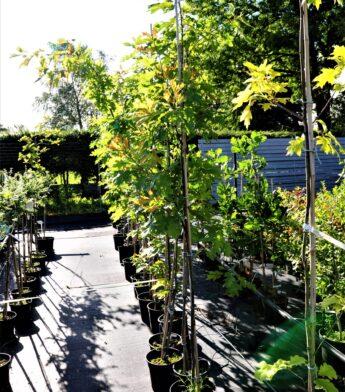 Ąžuolas-raudonasis-Quercus-rubra