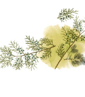 Spygliuočiai medžiai ir krūmai