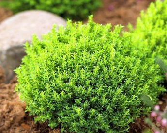 Hebė 'Green globe' (Hebe carnosula)