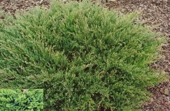Kadagys-hoizontalusis-Prostrata-Juniperus-horizontalis