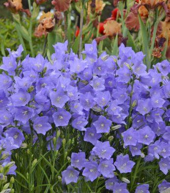 Katilėlis didžiažiedis 'Blue' (Campanula persicifolia)
