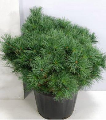 Pusis-veimutine-Radiata-Pinus-strobus