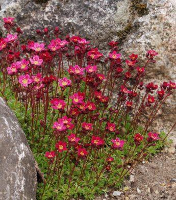 Uolaskėlė-Pixie-pan-red-Saxifraga-arendsii