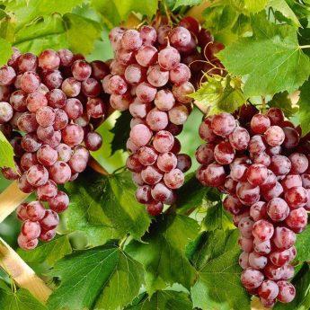 Vynuogė 'Canadice' (Vitis vinifera)