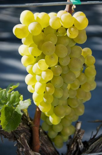 Vynuogė-Kristaly-Vitis-vinifera